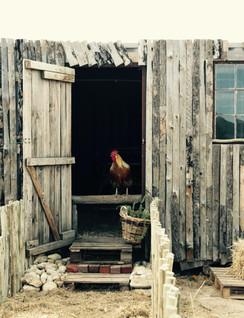 The Chicken story.jpeg