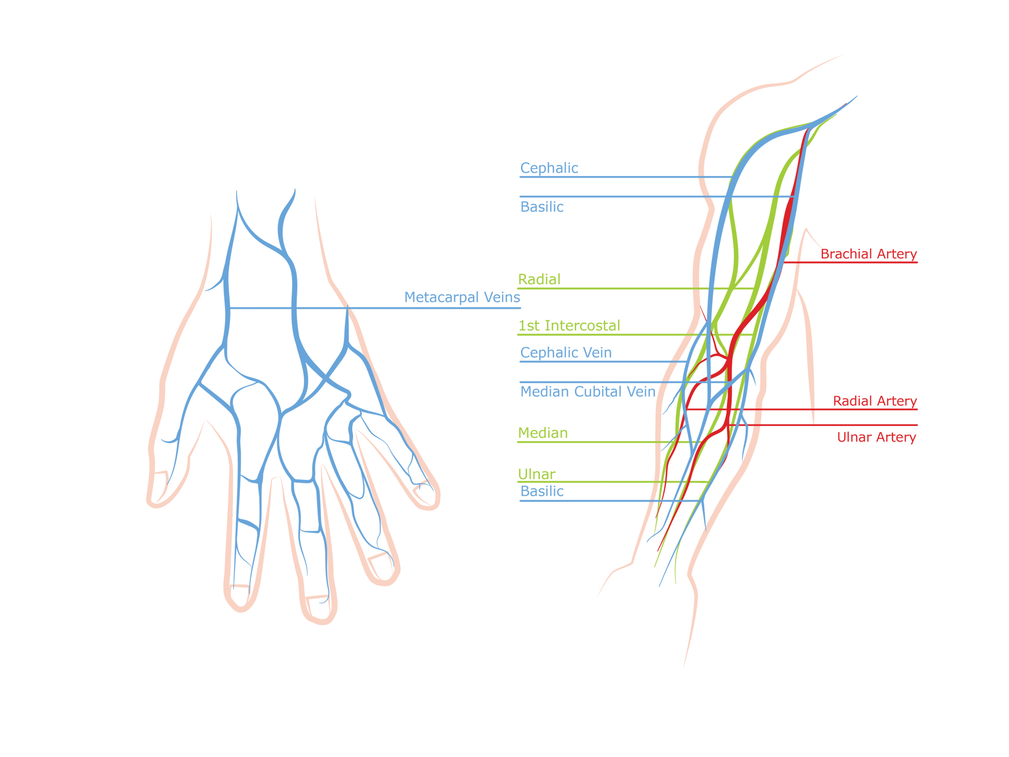 Veins in the arm and hand