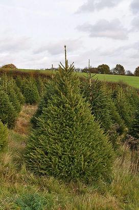 order-norway-spruce.jpg
