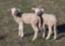 Farm pets calamity Barbara sheep lambs