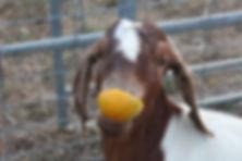 Friendly Farm Goat Bree