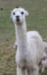 alpacas farm animals
