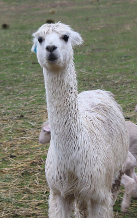 alpacas farm animals