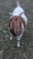 Friendly Farm Goat Gabby