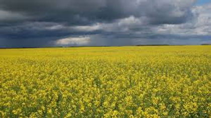 canola field before the storm.jpg