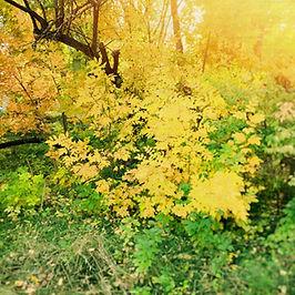 yellowbush.jpg