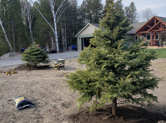 Planted spruce tree