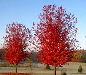 autumn blaze tree