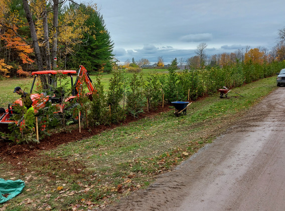 Planted Cedar Hedge with machinery