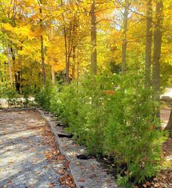 Cedar hedge along driveway