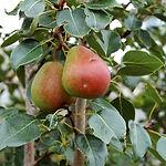 golden spice pear tree