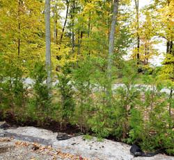 Cedar hedge blocking road