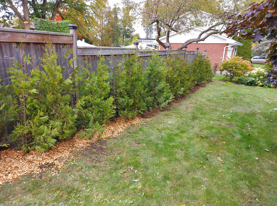 Cedar Hedge along fence