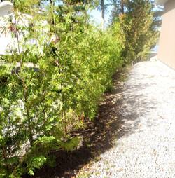 Cedar hedge between houses