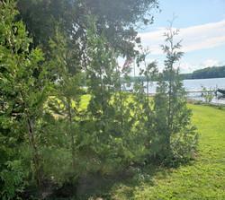 Cedar hedge along cottage
