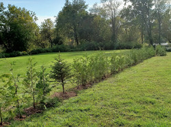 Cedar hedge between two fields