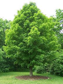 Sugar-maple tree
