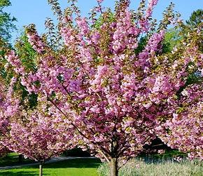 Standard Flowering Almond Tree