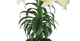 """6.5"""" Easter Lily"""
