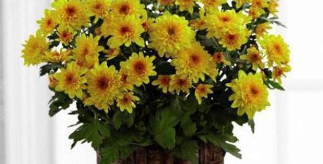 """6"""" Mum Plant"""