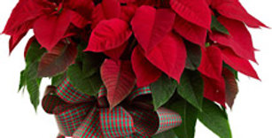 """6.5"""" Poinsettia with basket and bow"""