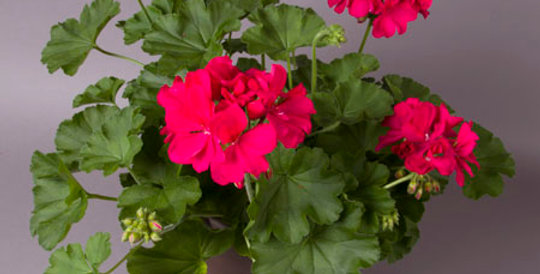 "8.5"" Geranium planter"