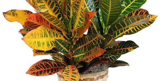 "6"" Croton Fall Plant"