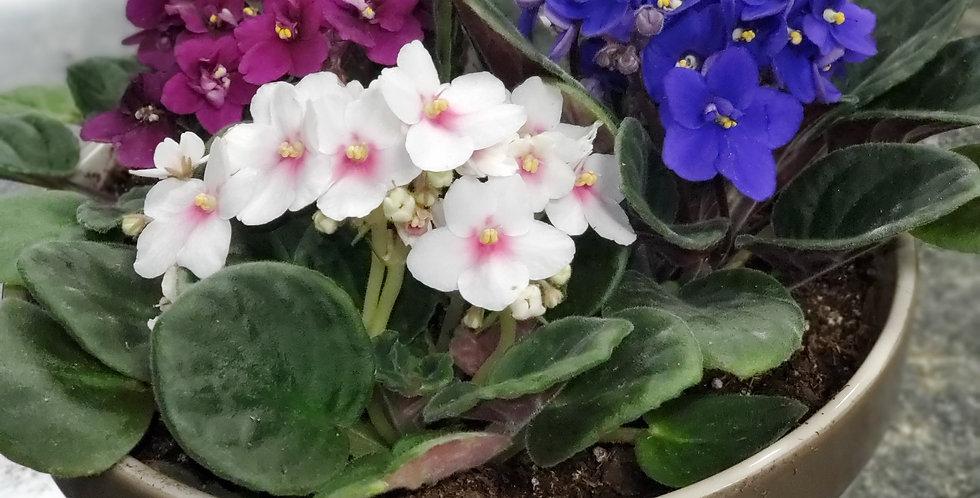 Blooms of Violets