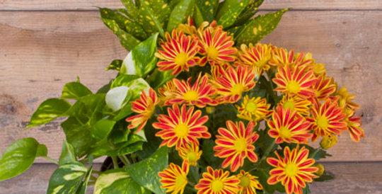 """10"""" Euro Garden Fall plant set"""