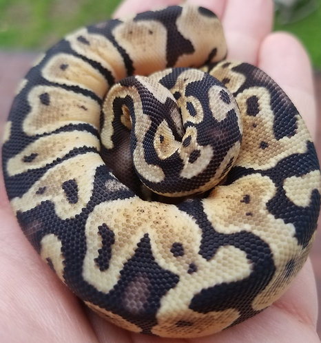 Female Pastel 66% Het Albino, 66% Het WHS Scaless Head