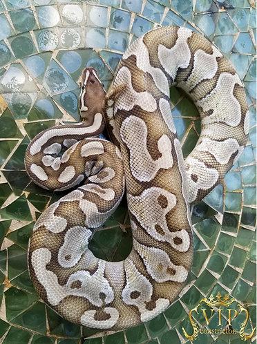 PROVEN BREEDER Lesser Scaless Head Male