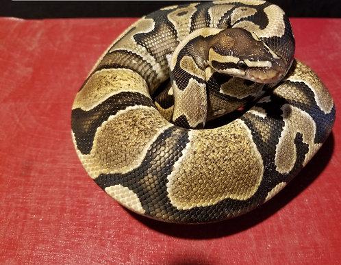 Female Asphalt Enchi Ball python Subadult