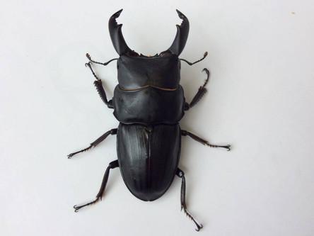 クワガタ、カブトムシの昆虫採集 Bug Catching