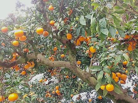 みかんの収穫体験