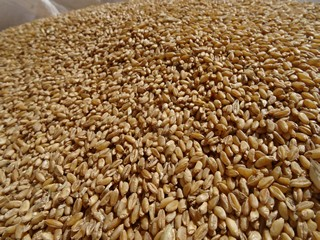 Il grano è pronto per il mulino