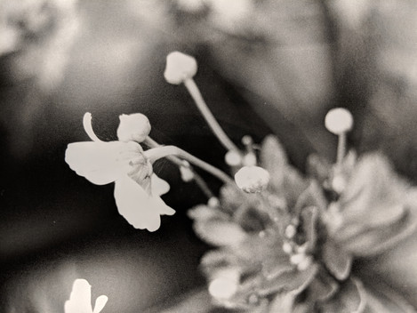 """Delicate"" 35mm darkroom print  - Published in Colonnades Art and Literary Magazine"