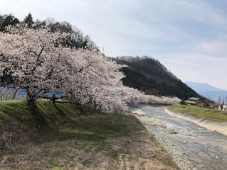 鮎川沿いの桜