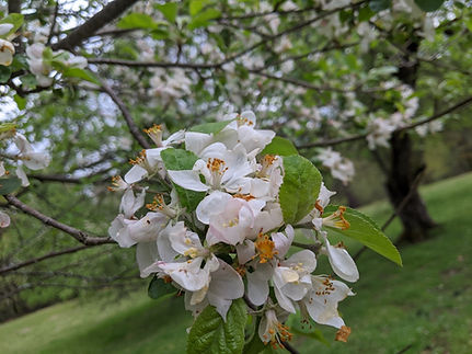 apple blossom 2.jpg