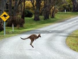 Mayor Calls For Community Help to Safeguard Kangaroos