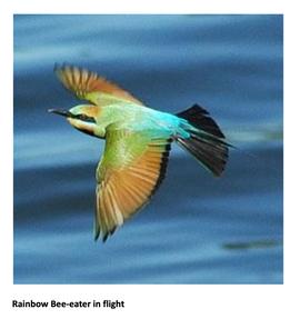 Woorim Surf Club  - Home to Rainbow Bee-eaters