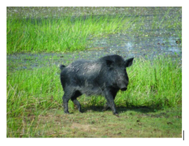 Feral Pigs Invade Our National Park