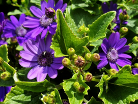 Landscape Plant of the Month    Pericallis x hybrida- Senetti ® Collection
