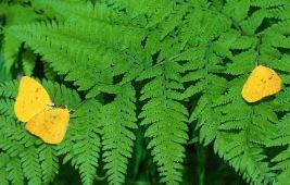 BribieIsland-is a flutter,butterflies galore!