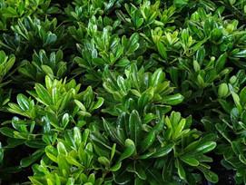 Landscape plant of the MonthPittosporumtobira- 'Miss Muffet' or DwarfPittosporum