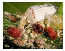 Sustaining Biodiversity- Beneficial insect biocontrol