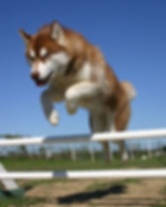 jumping siberian husky in a training of