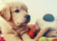 Little golden retriever puppy playing wi