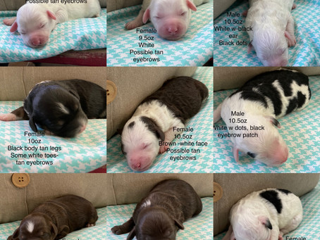 MICRO SHEEPADOODLE PUPPIES FOR SALE