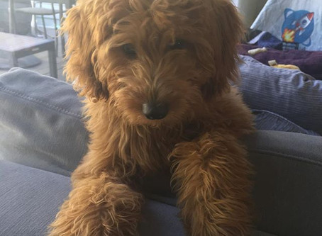 Housebreaking your Mini Goldendoodle puppy.