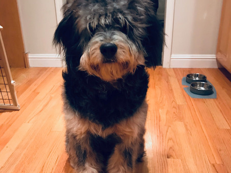 How to Tell if Your Bernedoodle's Coat Will Shed